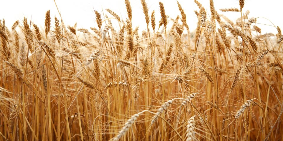 Drone Software-based Waterlogging Analysis Saves Wheat Crops