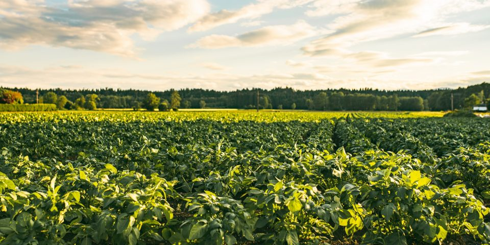 Less Can Give You More: A Sneak-peek Into Potato Farming